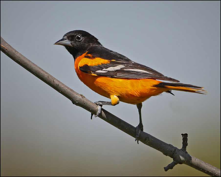 Orioles, Mirlo, Cowbirds, Grackle y Meadowlark Gallery